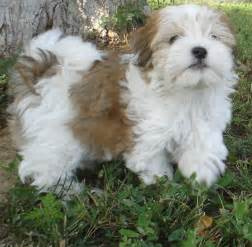 happy trails havanese havanese dogs with havanese