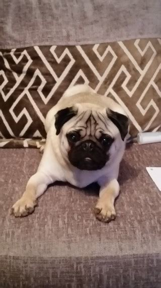 1 year pug for sale 1 year pug for sale birmingham west midlands pets4homes