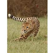 Cheetah Wallpapers For Your Desktop  2013 Free