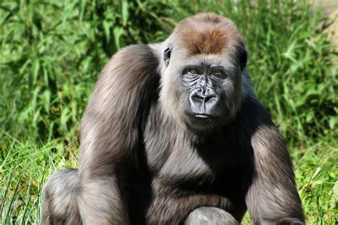 Western Lowland Gorilla Female Digital Art by Julie L ...