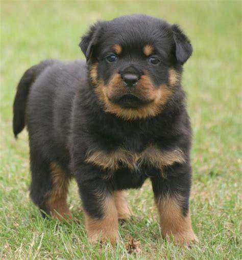 rottweiler puppies ta rottweiler hund in 246 sterreich rottweiler welpen kaufen verkaufen 246 sterreich