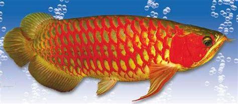 Jual Bibit Ikan Arwana Jakarta jual ikan arwana jual arwana