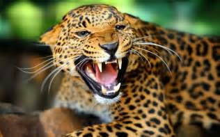 Roaring Jaguar Jaguar Animal Roar Wallpaper