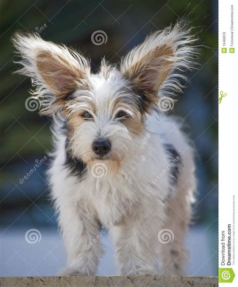 14 week puppy 14 week russel puppy royalty free stock photos image 16466978