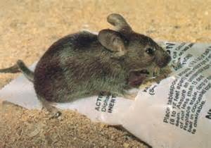mice removal toronto mouse exterminators toronto