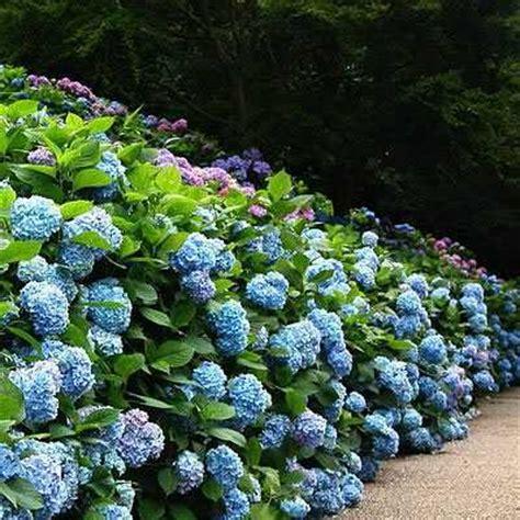 giardini colorati ortensie per giardini estivi eleganti e colorati
