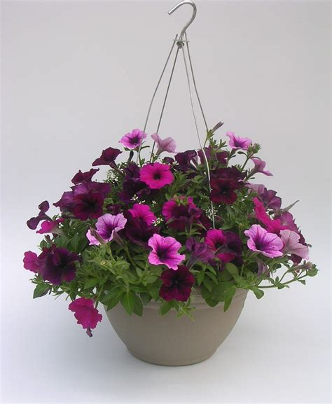 petunia hanging basket i love flowers pinterest