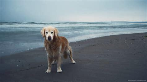 golden retriever screensaver golden retriever wallpaper screensavers 6 background dogbreedswallpapers