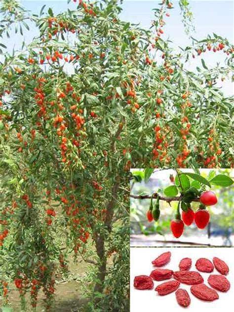 Biji Buah Gojiberry Wolfberry mencari kebahagiaan hidup jom tanam pohon goji berry