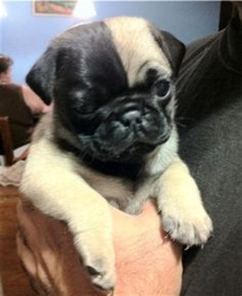 different colors of pugs pug in strange colors on pug pugs and pug puppies