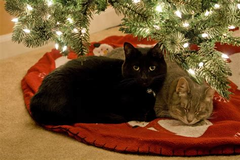 28 best are christmas trees toxic to cats are