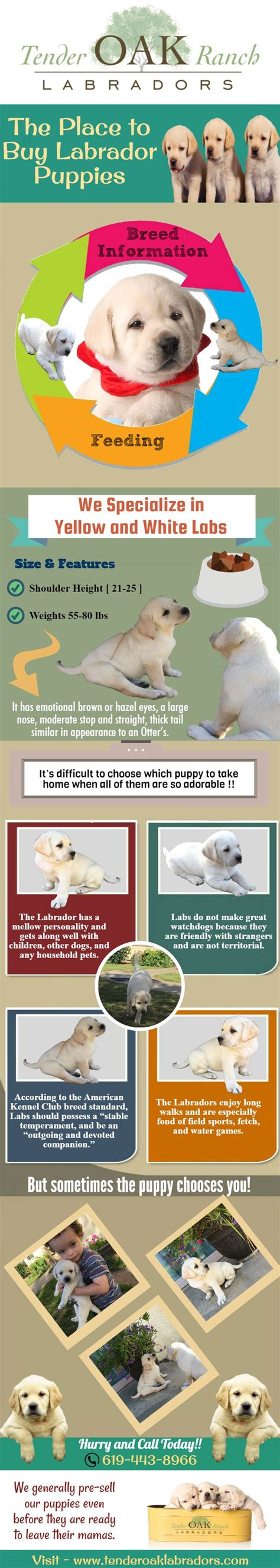 labrador puppies san diego 17 of 2017 s best labrador puppies for sale ideas on labrador pups for