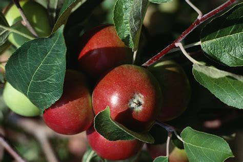 how for an apple tree to produce fruit apples how to plant grow and harvest apple trees the