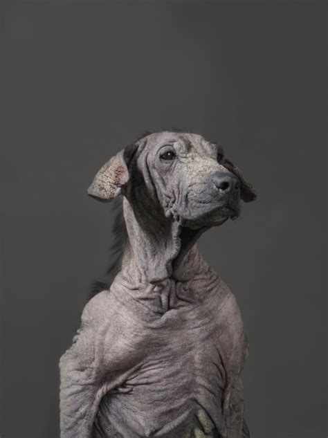 dogs with no fur photographer tou chih kang captures dogs on row