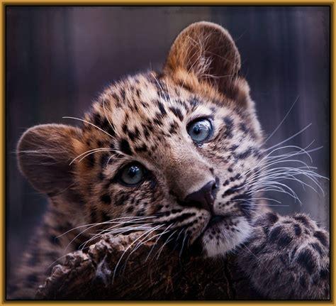 imagenes de jaguar para descargar descargar fotos de tigres y leones archivos imagenes de