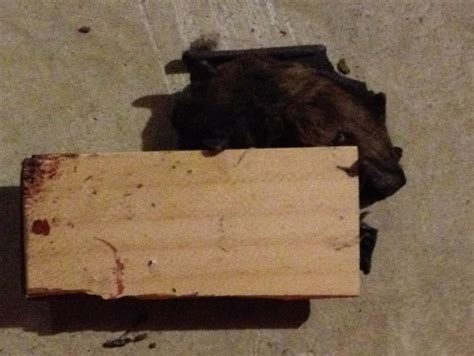 bats in your house envirocare pest llc