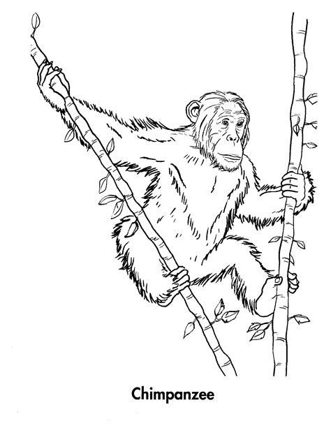 printable coloring pages free printable chimpanzee coloring pages for