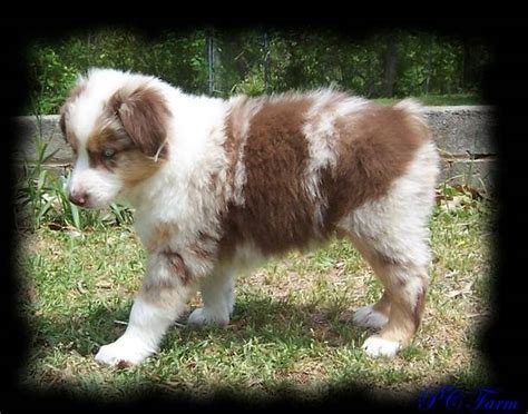 australian shepherd puppies for adoption mini blue merle australian shepherd puppies