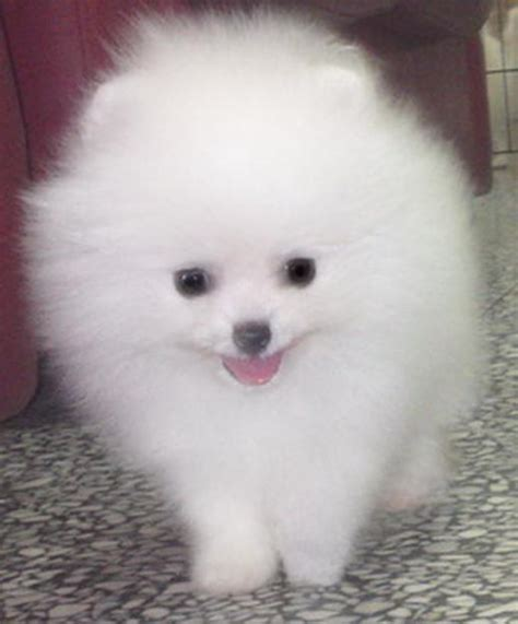 pomeranian puppies white puppy dogs white pomeranian puppies