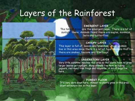 What Does Canopy In The Rainforest Layers Of The Rainforest Emergent Layer The Tallest Trees