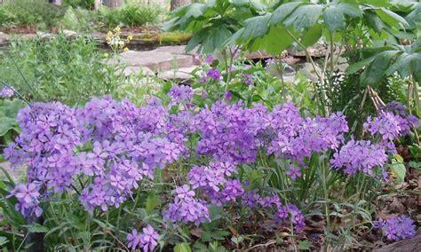 phlox divaricata woodland phlox wild blue phlox wild sweet william potted plants