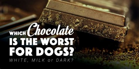 can dogs white chocolate can dogs eat chocolate white milk