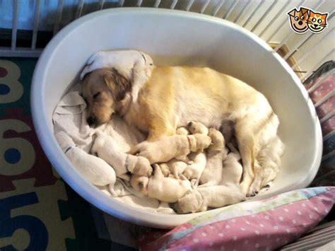 selling golden retriever puppies golden retriever puppies selling fast leamington spa warwickshire pets4homes