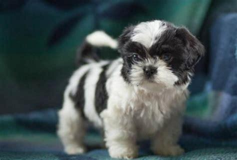 shih tzu for sale in michigan curtiss shih tzu puppy for sale handmade michigan