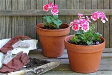 geranien pflanzen ab wann geranie gartenjournal net