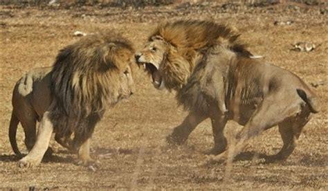 peleas de leones a muerte leonas se enfrentan a un le 243 n protegiendo a sus cr 237 as