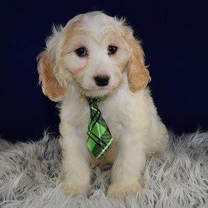 cavachon puppies for sale in pa cavachon puppy for sale jude puppies for sale in pa md va wv