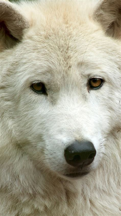 wallpaper white wolf front view face  uhd
