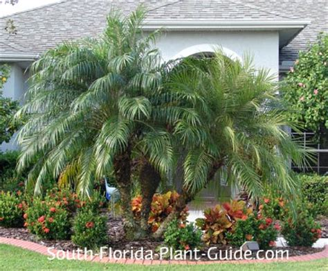florida landscaping plants small palm trees