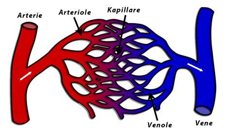 letto capillare aufbau und funktion des herzens leseprobe