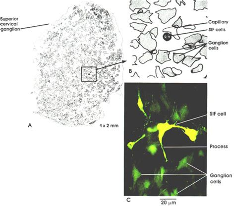 Catecholamines Also Search For Plate 6 108 Catecholamine Containing Interneurons And Paraneurons