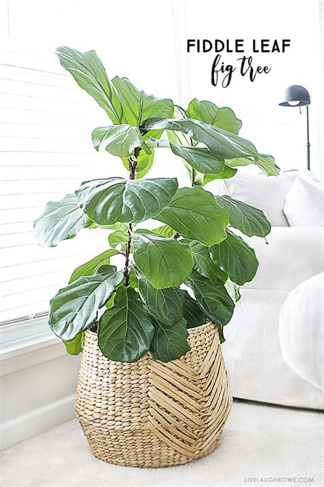 indoor plants best 25 large indoor plants ideas on plants