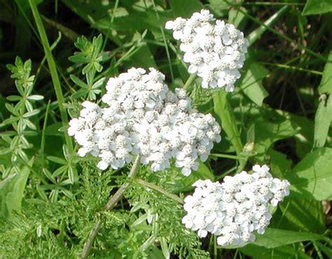 yarrow milfoil achillea millefolium 100 yarrow or milfoil achillea millefolium 04b