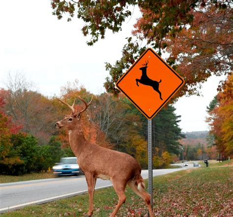 The one thing drivers must know about deer car accidents