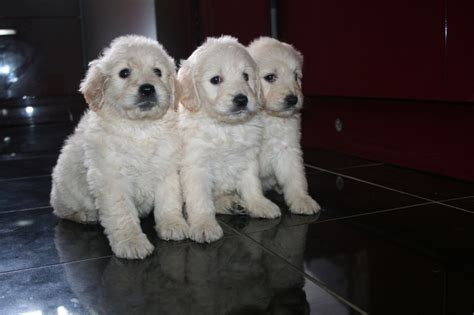 goldendoodle puppy uk goldendoodle f1 puppies maldon essex pets4homes