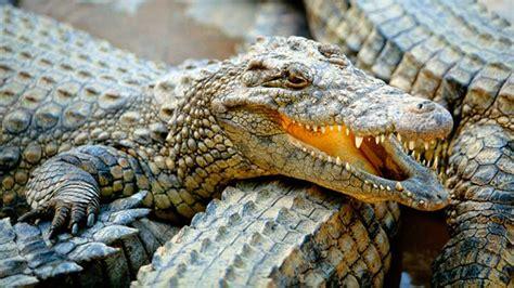 el cocodrilo al que los expertos revelan que los cocodrilos si se saben divertir upsocl