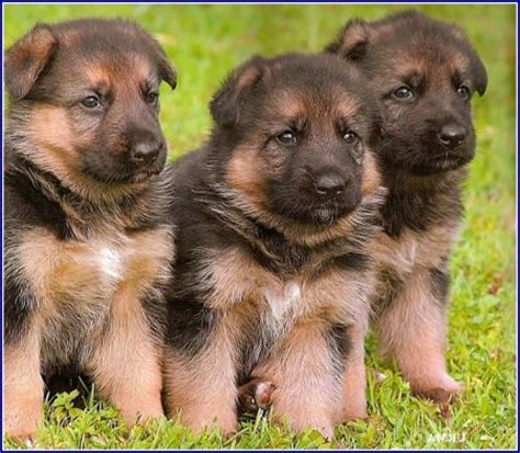 wolf puppies for adoption black wolf puppies pet photos gallery 1o3gxaxbyp