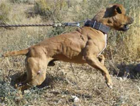 redboy jocko pitbull puppies for sale jeep pitbull gallery