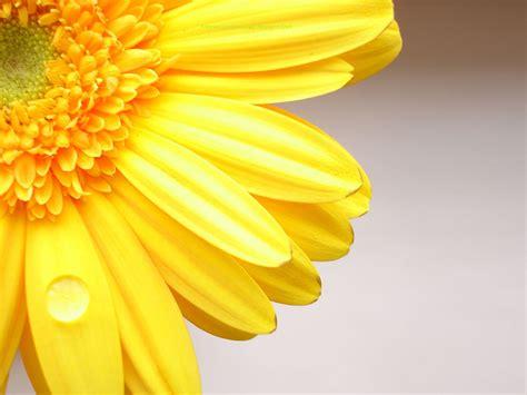 Wallpaper Kuning Bunga Besar buku harianq wallpaper bunga kuning