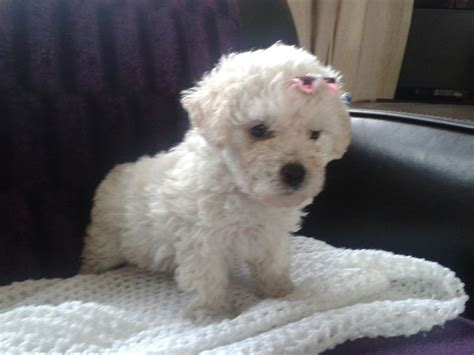 poochon puppies for sale poochon quotes