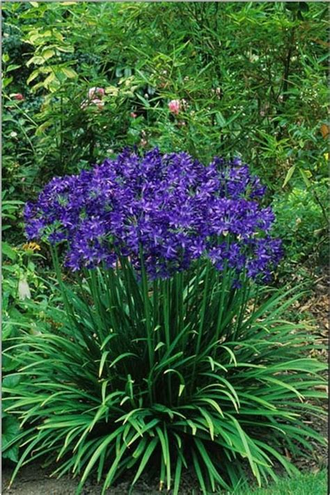 best 25 agapanthus care ideas on pinterest african lily agapanthus blue and what flowers to