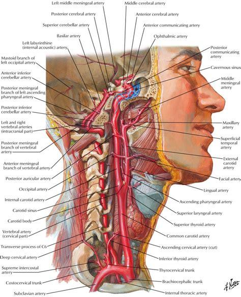diagram of neck neck vessel anatomy human anatomy diagram