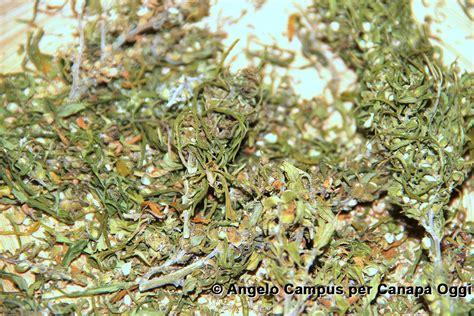 canapé louis 15 canapa oggi cime pianta camapa canapa oggi