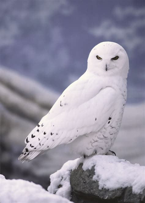 adopt a snowy owl wildlife adoption and gift center
