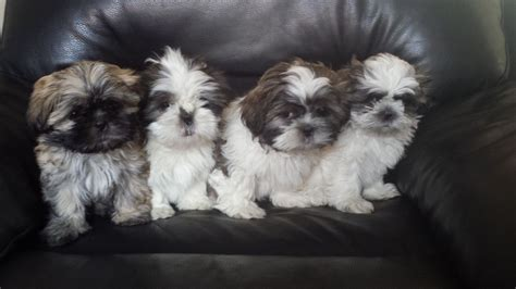 blue eyed shih tzu for sale pedigree shihtzu puppies blue eyed 9 wee lincoln lincolnshire pets4homes