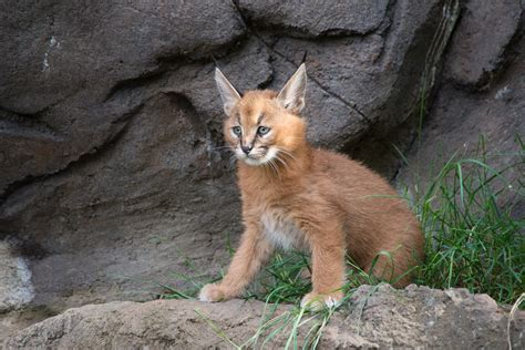 cute caracal kittens